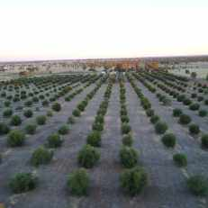 Tree Rows at Thornelands Olive Grove Roma