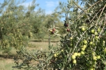 Fruit on trees at Scenic Rim Olives