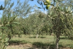The beauty of a Queensland Olive Grove at Scenic Rim Olives