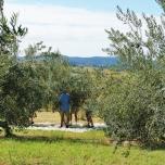 Harvest time at Scenic Rim Olives