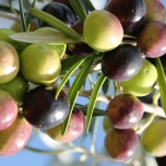 Perfect, fresh fruit in harmony at Scenic Rim Olives