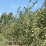 Trees are loaded at Scenic Rim Olives