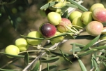 Fruit ready for picking at Scenic Rim Olives