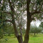 Monteverde Olives Queensland in the Grove