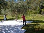 Harvest time at Monteverde Olives Queensland