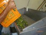 Leaf removal Monteverde Olives Queensland